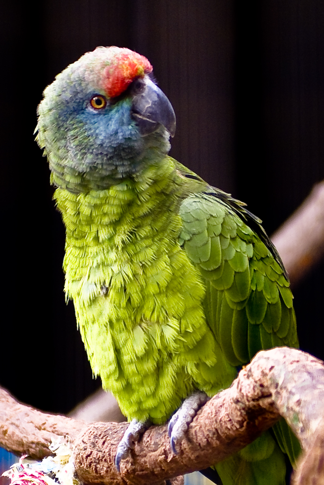 By Christopher G from Tulsa Oklahoma, USA (Amazon Parrot) [CC BY-SA 2.0 (http://creativecommons.org/licenses/by-sa/2.0)], via Wikimedia Commons