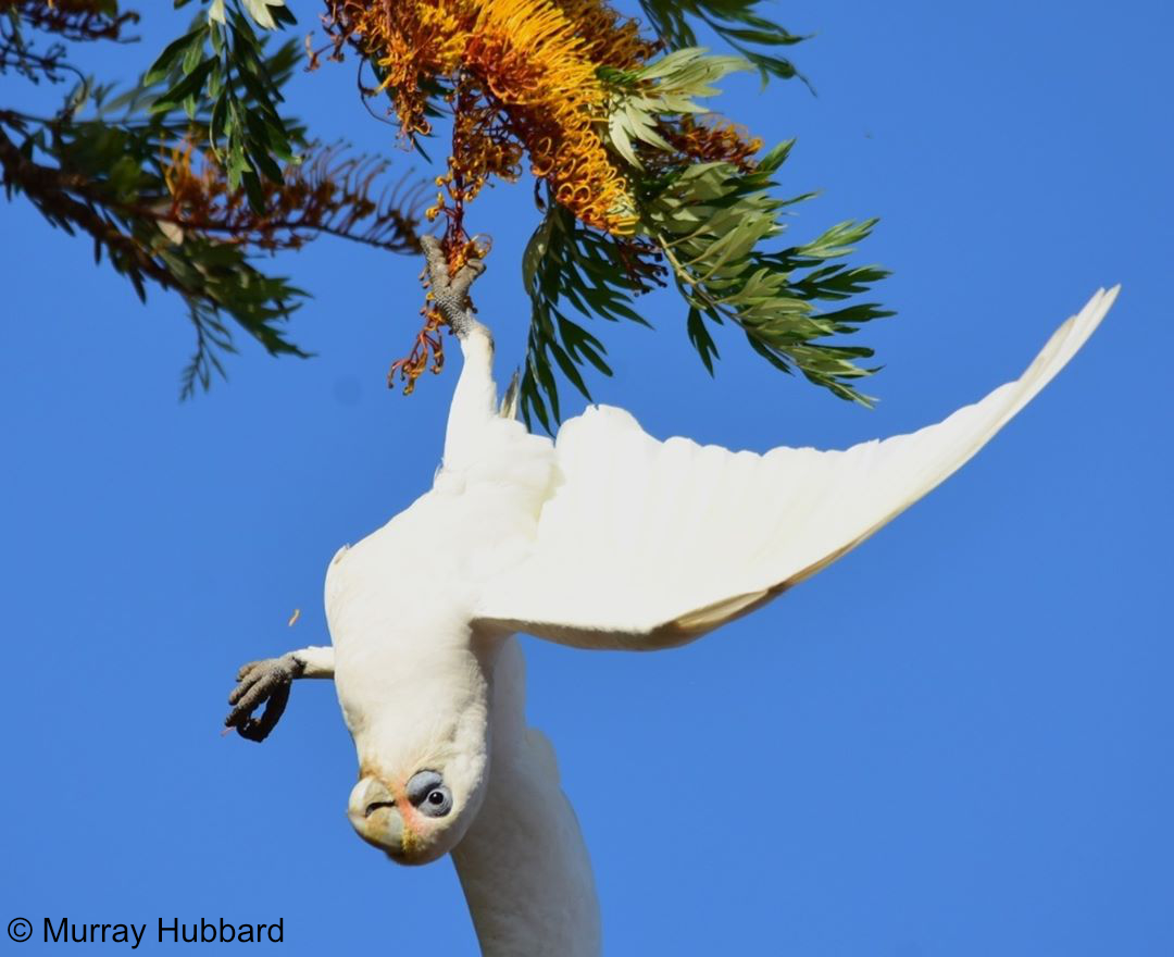 Cacatua sanguinea - Little Corella. Copyright © Murray Hubbard